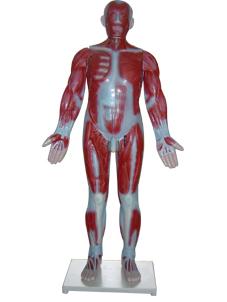 3324 人体肌肉模型