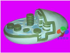 叶绿体光合作用模型